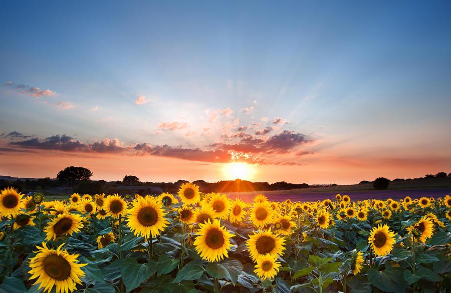 3-sunflower-summer-sunset-landscape-with-blue-skies-matthew-gibson